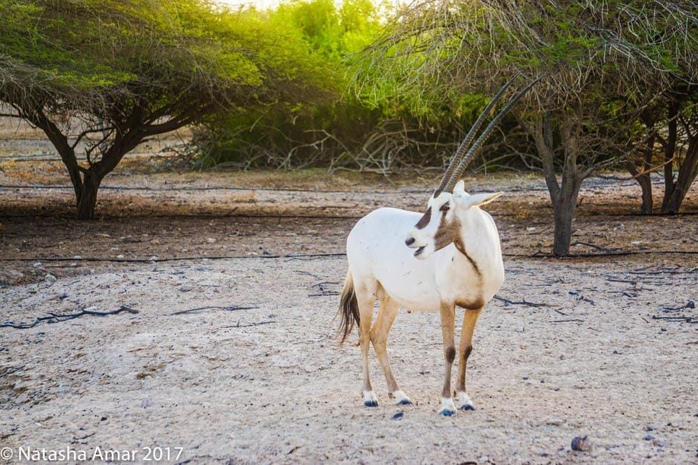 Arabian oryx on Sir Bani Yas Island