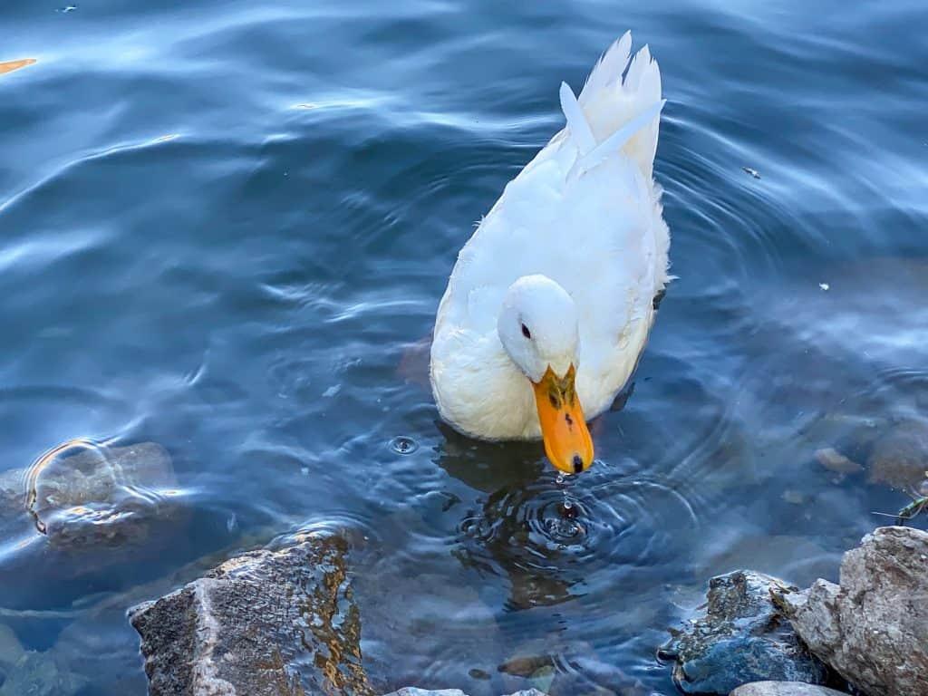 Ducks Al Rafisah Dam